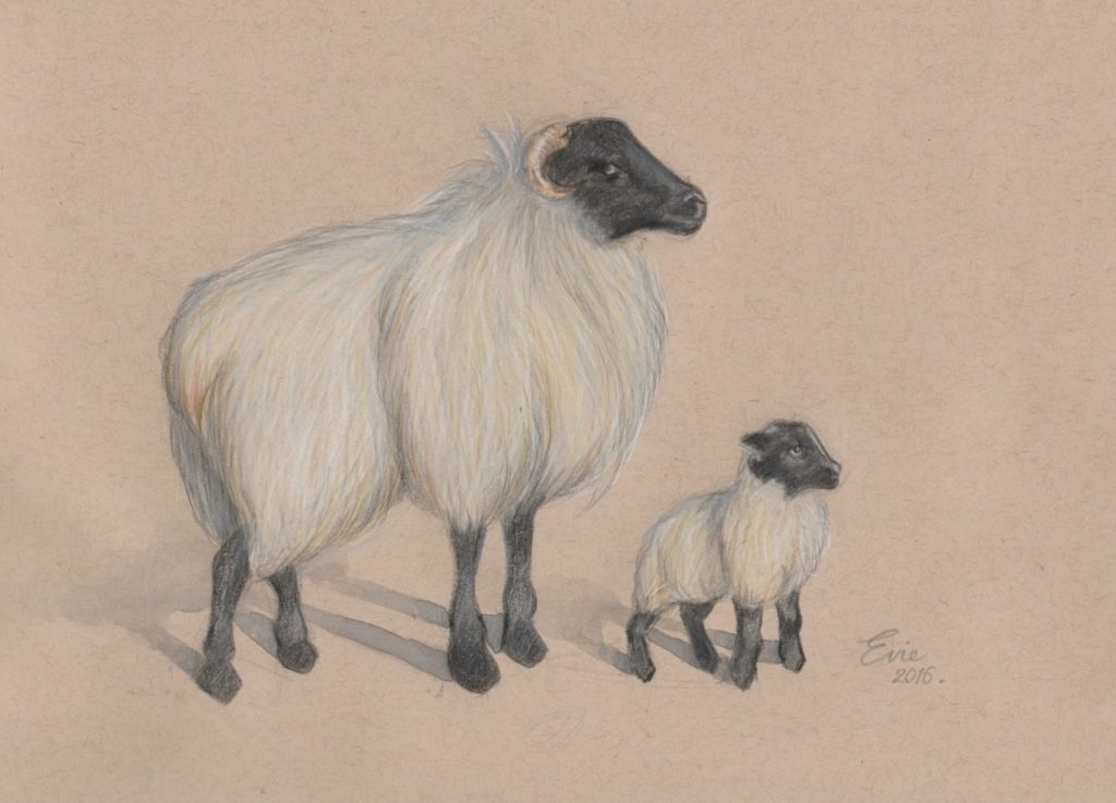 Connemara Sheep by Evie Lavelle