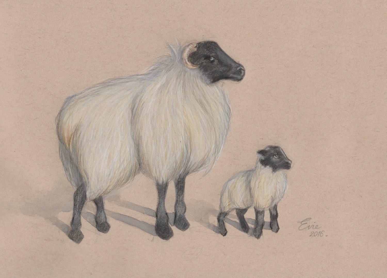 Connemara Sheep by Evie Lavelle