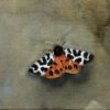 Garden Tiger Moth by Beatrice O'Connell